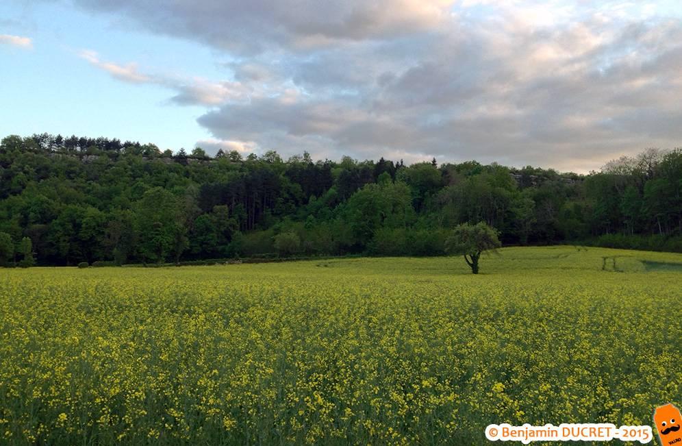 Plateau de Fierloz - Champs de colza au printemps
